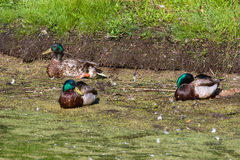 Mallards Resting. Royalty Free Stock Photo