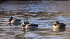 Mallards Resting on Lake stock video footage