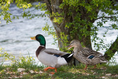 Mallards on the river bank. Mallards (Anas platyrhynchos) on the river Listica bank. Male and female mallard Royalty Free Stock Images