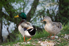 Mallards on the river bank Royalty Free Stock Photos