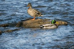 Mallards in river. Both Male and Female Mallards enjoy sunning on the rock in the river Stock Image