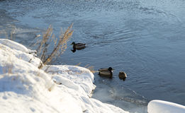 Mallards in River in Winter. With snow around Royalty Free Stock Photo
