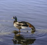 Mallard Yoga stock photography