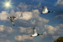 Mallards And Sun Stock Photography