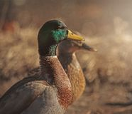 Mallards in the sun. A pair of mallard ducks enjoying the afternoon Royalty Free Stock Photos
