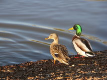 Mallards Sunning. Two wild ducks on the lake shore Royalty Free Stock Image