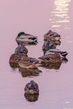 Mallards at the sunrise Stock Photo