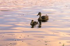 Mallards swiming Stock Images