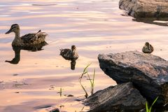 Mallards swiming Royalty Free Stock Photos