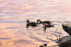 Mallards swiming. Mallard hen swimming with her chicks in the sunset colors Stock Image