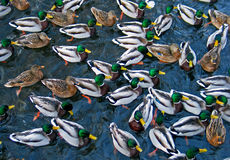 Mallards Stock Images