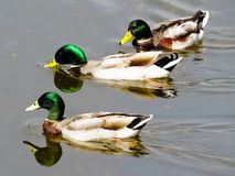 Mallards swimming. In a clear water Stock Image