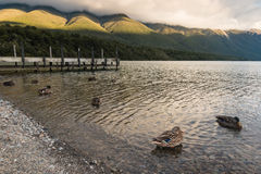 Mallards swimming on lake Rotoiti. In New Zealand Royalty Free Stock Images