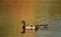 Mallards Swimming in Pond Royalty Free Stock Images