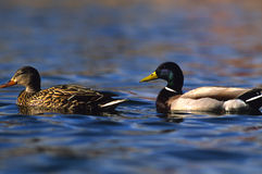 Mallards Swimming in Pond. A drake and hen mallard swimming on a pond Stock Image