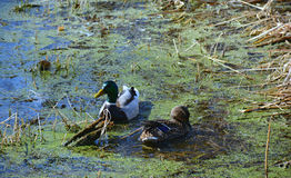 Mallards Swimming In A Pond. Spring aspect on a hen and drake mallard, swimming in a weedy pond Stock Images