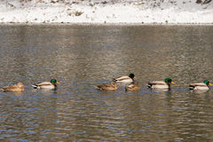 Mallards Swimming. A small flock of mallards swimming on a lake Stock Image