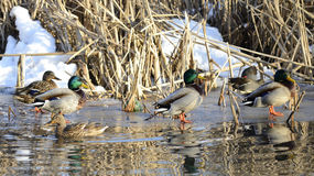 Mallards swimming in the water. Mallards (Anas platyrhynchos) swimming in the water and standing on the ice Royalty Free Stock Photo