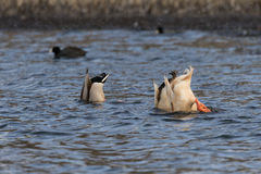 Mallards Tails Up on Lake. Mallards with tails up feeding on a lake Royalty Free Stock Photos