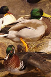 Mallards taxidermy group objects. Animals Stock Photo