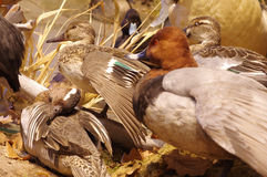 Mallards taxidermy group. Objects animals Royalty Free Stock Images
