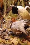 Mallards taxidermy. Group objects animals Stock Image