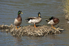 Mallards Royalty Free Stock Image