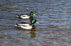 Mallards. Two mallards swim in the river Royalty Free Stock Image