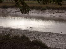 Mallards wading through shallow water stream coastline night fal. England; uk Royalty Free Stock Images