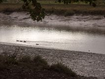 Mallards wading through shallow water stream coastline night fal. England; uk Royalty Free Stock Photo