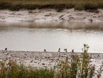 Mallards wading through shallow water stream coastline night fal. England; uk Royalty Free Stock Image