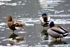 Mallards watching. Duck watching out on the ice lake Royalty Free Stock Photo