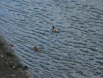 Mallards on the water Stock Photo
