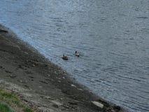 Mallards on the water Royalty Free Stock Photos
