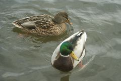 Mallards on the water. Male and female mallard swimming in the river Royalty Free Stock Photography