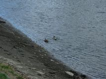 Mallards on the water. Mallard male and female swims on the water near the bank Royalty Free Stock Photos