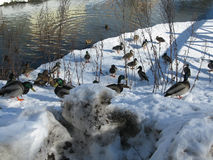Mallards in winter. Mallards swimming in river and walking on snow, Sweden in March Royalty Free Stock Photography