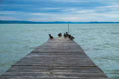 Mallards on wooden dock or pier at Balaton lake. Cold and cloudy day in the summer, blue hills in background Royalty Free Stock Photography