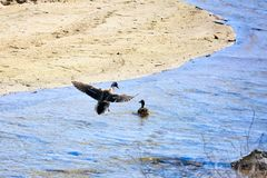 Mallarsd ducks inflight landing river. Two Mallard ducks in river one landing on sunny summer California day stock image