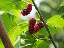 Mallberry Foto de Stock Royalty Free