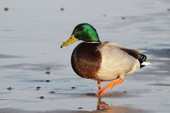 Malle duck. In the see Stock Image