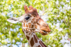 Malle Giraf royalty-vrije stock afbeeldingen