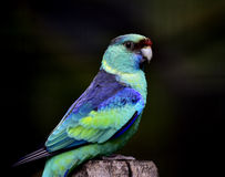 Mallee Ringneck Parrot Royalty Free Stock Image