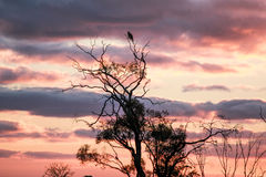 Mallee Sunset. A typical mallee sunset, Northern Victoria Australia with a bird sitting high up in the trees Stock Photos