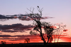 Mallee Sunset. A typical mallee sunset, Northern Victoria Australia with a bird sitting high up in the trees Royalty Free Stock Photo