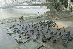 Mallik ghat or Jagannath ghat of Kolkata, West Bengal, India. KOLKATA, WEST BENGAL / INDIA - FEBRUARY 13TH,2016 : Pigeons bathing and drinking water at Mallik Stock Photography