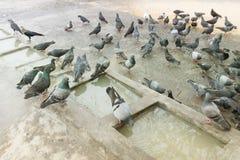Mallik ghat or Jagannath ghat of Kolkata, West Bengal, India. Pigeons bathing and drinking water at Mallik Ghat or Jagannath ghat flower market in Kolkata , on Royalty Free Stock Images