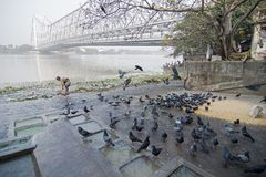 Mallik ghat or Jagannath ghat of Kolkata, West Bengal, India. Pigeons bathing and drinking water at Mallik Ghat or Jagannath ghat flower market in Kolkata , on Stock Images