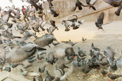Mallik ghat or Jagannath ghat of Kolkata, West Bengal, India. Pigeons flying at Mallik Ghat or Jagannath ghat flower market in Kolkata , on 13.02.16. It is one Stock Images