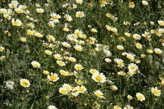 Mallorca, Balearic Islands, Spain. Flowers vegetation in Alcudia, Mallorca, Balearic Islands, Spain, Europe Stock Photo